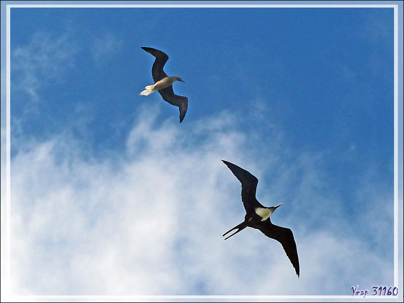 Course entre un Fou à pieds rouges et une Frégate du Pacifique - Ile aux oiseaux - Vers la passe sud Tumakohua (Tetamanu) - Atoll de Fakarava - Tuamotu - Polynésie française