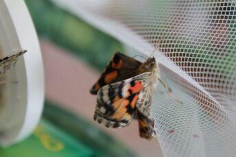 """Résultat de recherche d'images pour """"elevage papillon maternelle"""""""