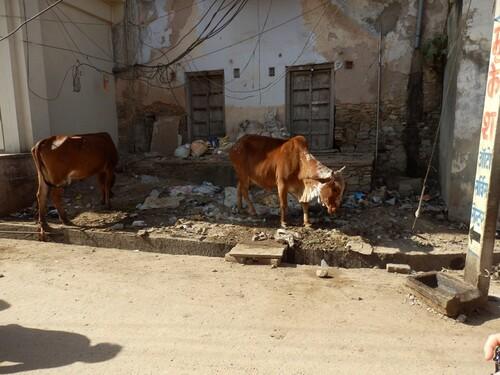 Inde 2014- Petite information sur les vaches sacrées