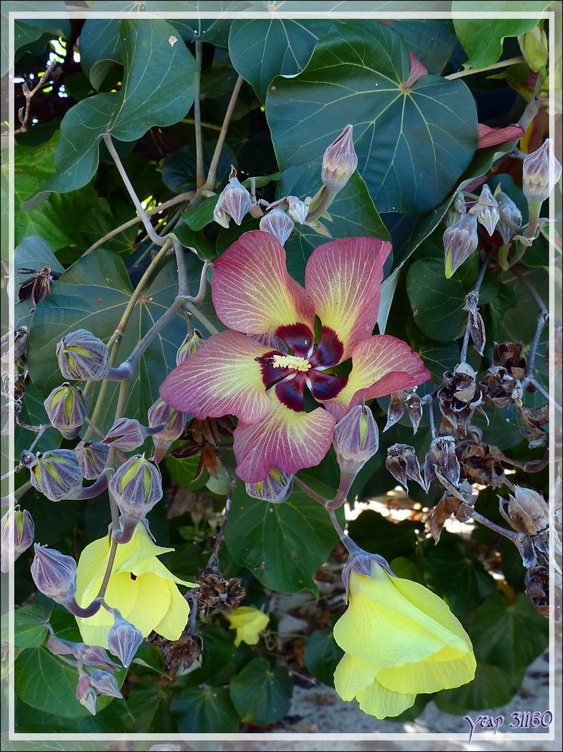 Je m'épanouis jaune le matin et meurs pourpre dans la même journée, je suis l'hibiscus sauvage Hibiscus de mer ou Ketmi à feuilles de tilleul (Hibiscus tiliaceus) - Huahine - Polynésie française