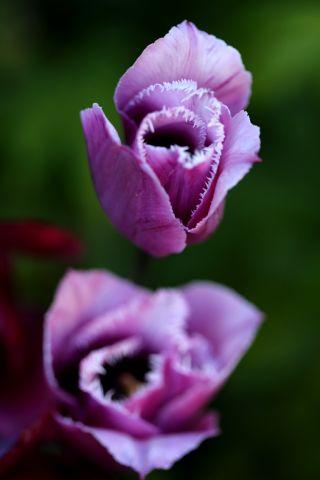 Tulipes 2020 : Blue Heron