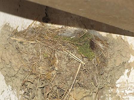 nid d'hirondelle (2)