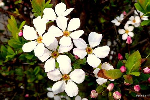 Spirées aux fleurs blanches