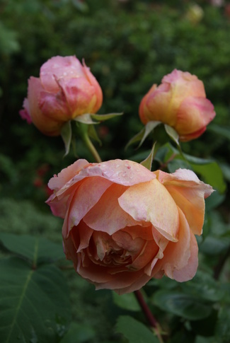 rose ' Paul Bocuse ' de Guillot