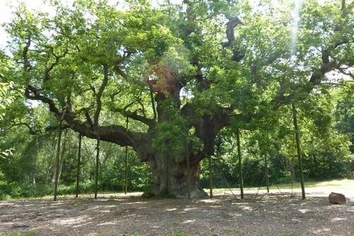 --- Source : mariclober35.canalblog.com_Major Oak_Sherwood Forest_image/photo pouvant être protégée par Copyright ou autre ---