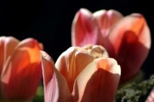 Tulipes Belle époque3