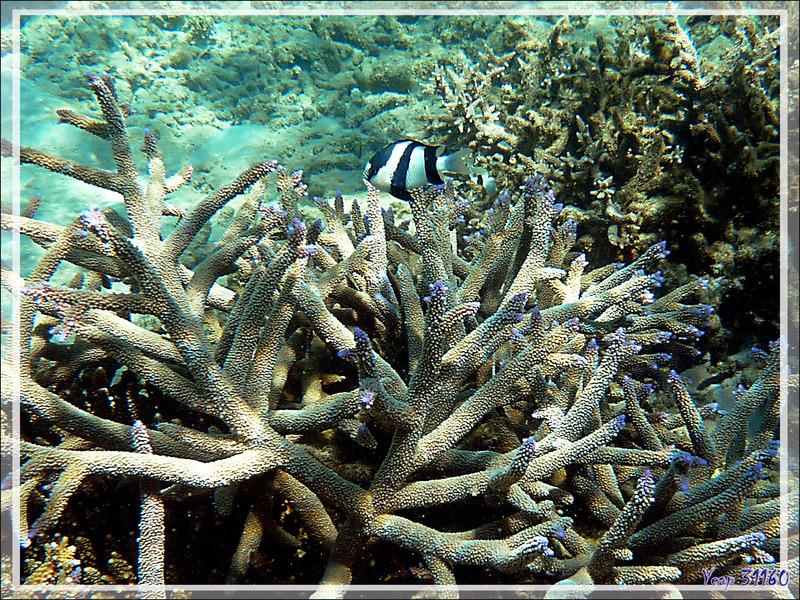 Snorkeling à Grande Mitsio : Demoiselle à trois bandes noires, Whitetail dascyllus, Humbug damsel, Threebar dascyllus (Dascyllus aruanus) et Acropore bois de cerf - Madagascar
