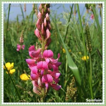 Sainfoin-Onobrychis viciifolia