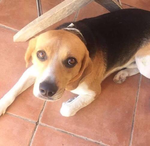 Hypno, beagle de  retour à l'adoption, URGENT ......dans le centre Val de Loire