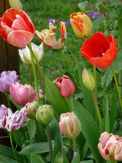 Tulipes en mélange