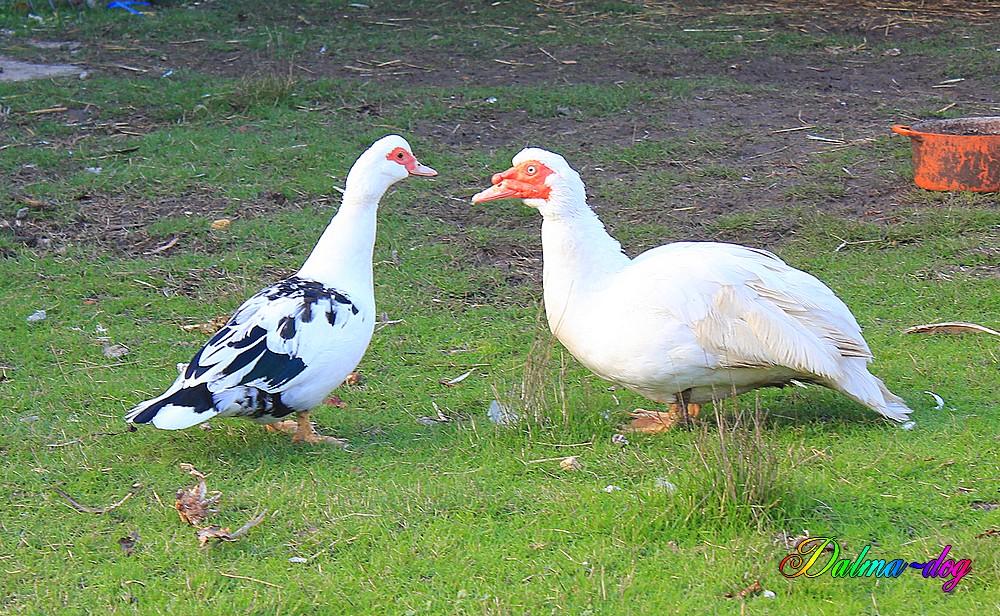canard de basse cour