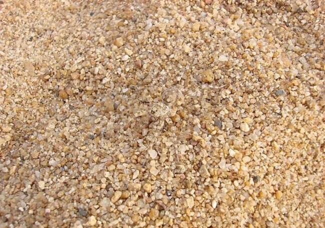 Araignée de sable