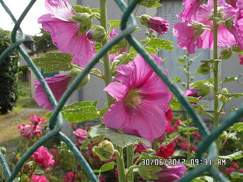 fleurs-et-divers-30-Juin-007.JPG