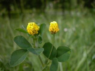 Luzerne lupuline-Minette (Medicago lupulina L.)1