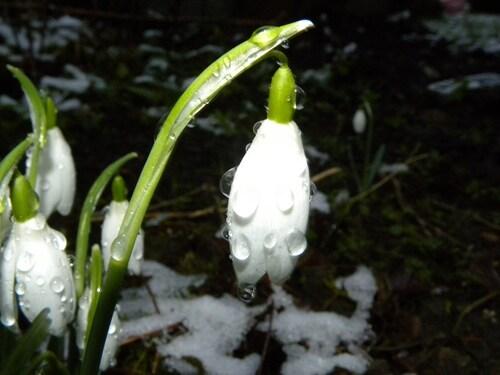 Perce-neiges sous la pluie