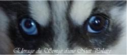 Elevage Husky yeux particolores