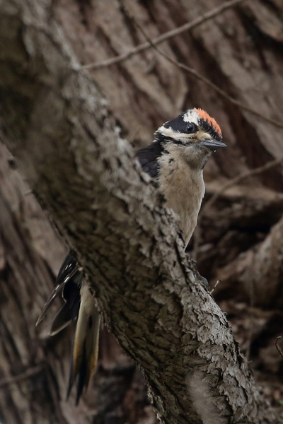 Hairy woodpecker - Little River Inn