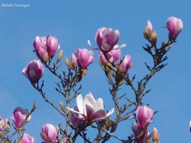 Une balade fleurie dans mon village, le 4 février...