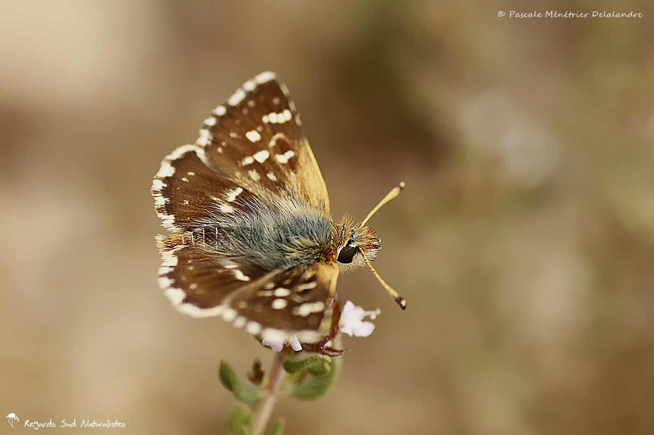 Hespérie de la Sanguisorbe - Spialia sertorius  - Hesperiidae