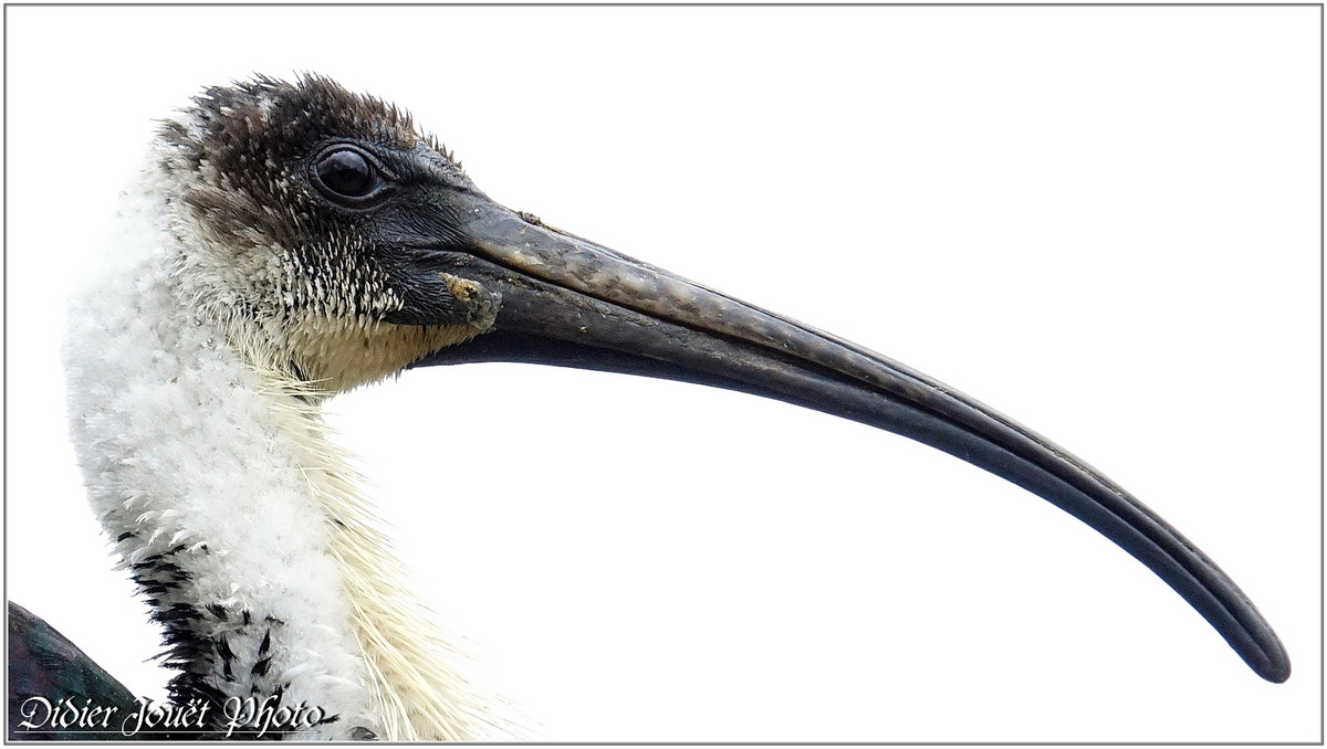 Ibis d'Australie (1) - Threskiornis spinicollis