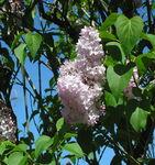 arbres_en_fleurs_avril_007
