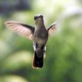 Femelle du colibri huppé en vol - Photo : Yvon