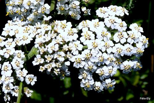 Des fleurs blanches sauvages