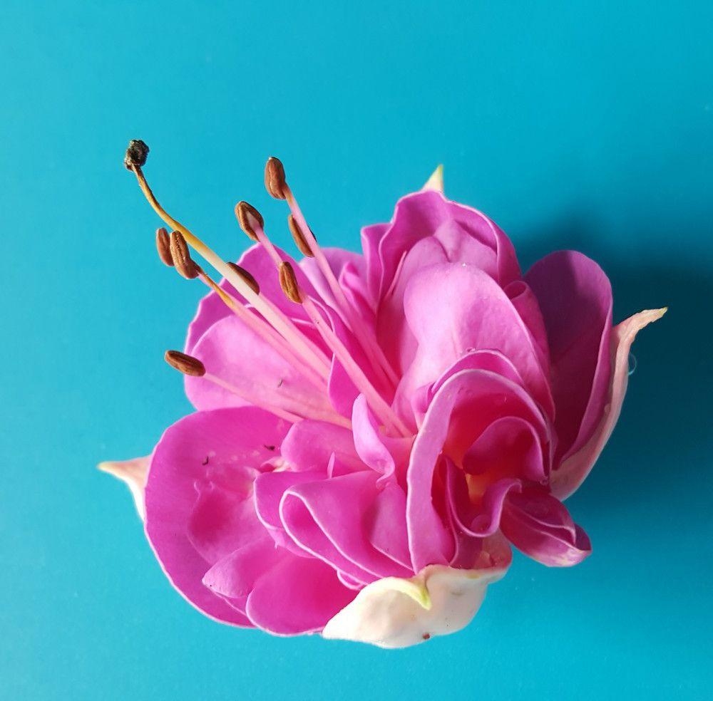 Jolie fleur de fuchsia...