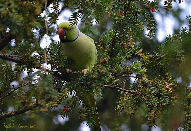Domaine de Sceaux : La perruche à collier