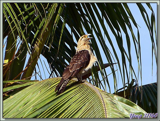 Blog de images-du-pays-des-ours : Images du Pays des Ours (et d'ailleurs ...), Dernier matin: ce Caracara à tête jaune surveille les tables délaissées - Bord du Canal, Panama City