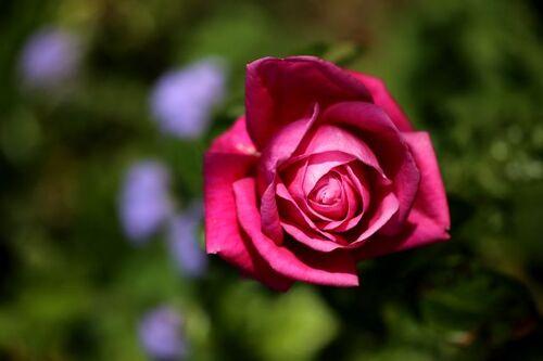 Les Roses de Warren : Johanna Pauline Hartwig