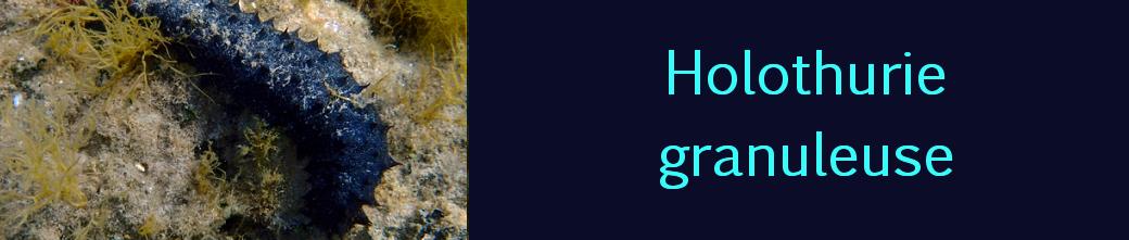holothurie granuleuse