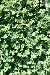 Trèfle Blanc ou Trèfle Rampant ou Trifolium Repens