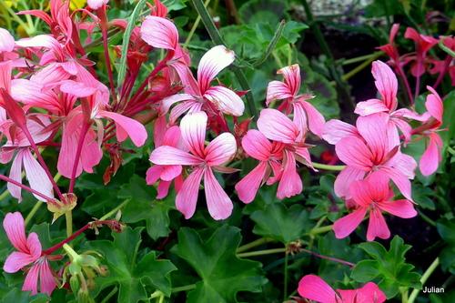 Fleurs de géranium : elles sont rouges ou roses !