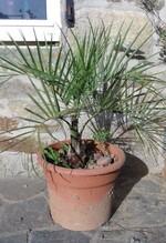 butia catarinensis n°2 (anciennement odorata)