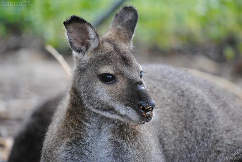 (11) Le wallaby de Bennett.