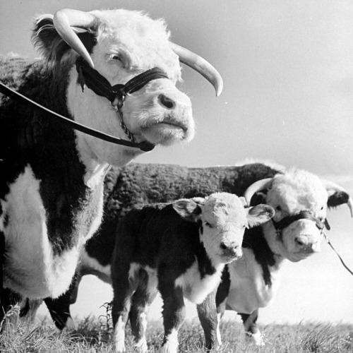 08 - Autres portraits de vaches
