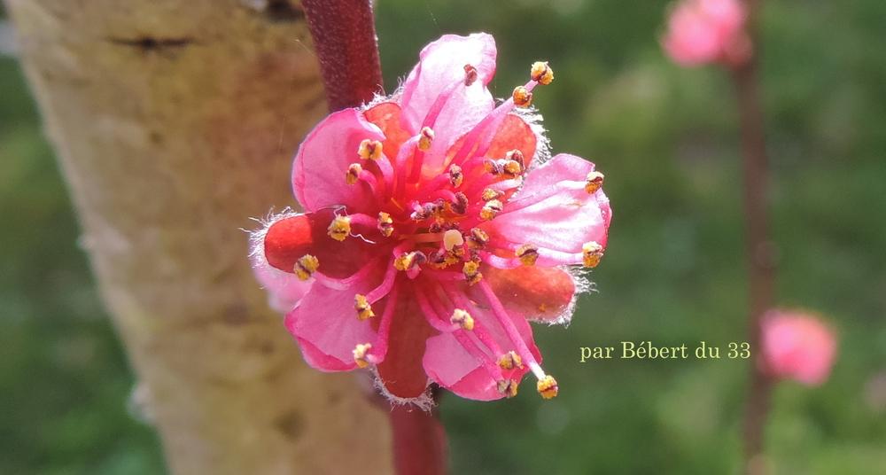 une fleur de pécher sauvage
