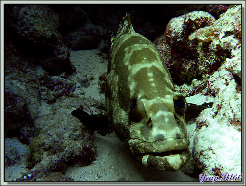 Plongée Passe Nord de Fakarava (Passe Garuae) : Mérou marbré brun - Tuamotu - Polynésie française