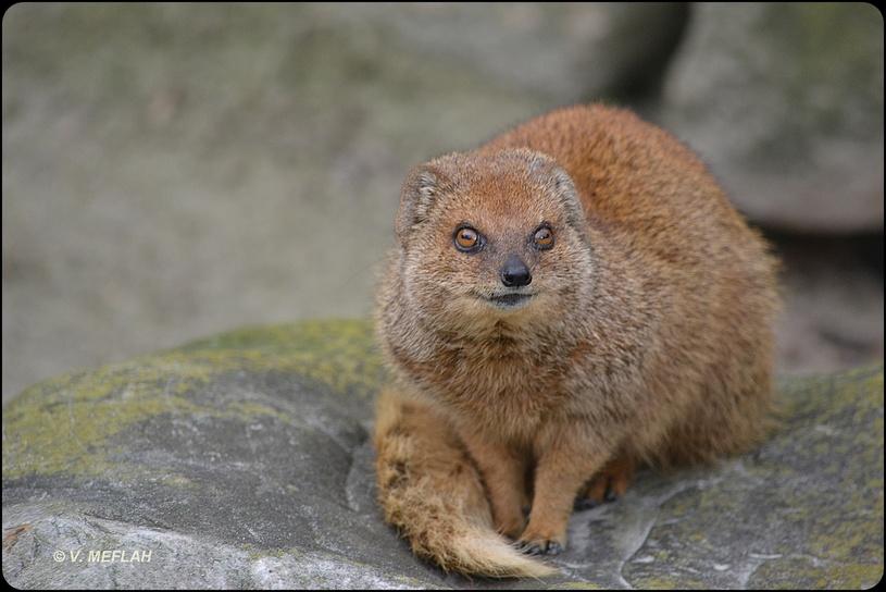 La Ménagerie, Zoo du Jardin des Plantes : Mangouste jaune