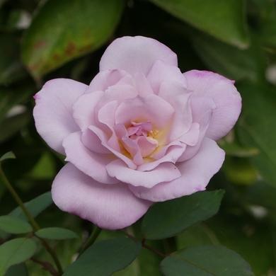 Septembre en roses...