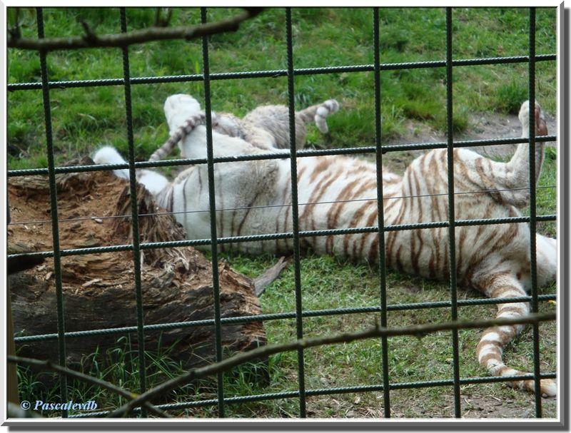 Tigres_blancs4