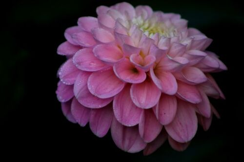 Dahlias : The Wizard of Oz