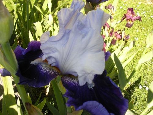 un des iris