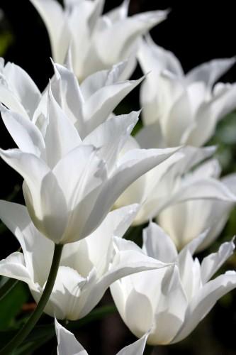 Tulipes Sapporo13