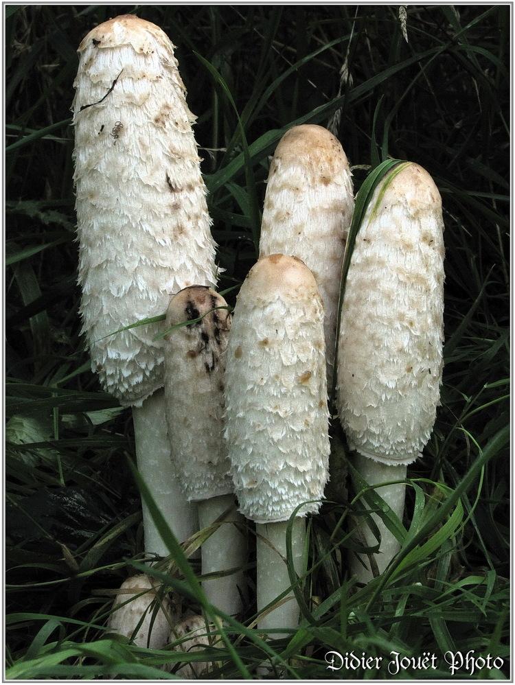 Coprin Chevelu / Coprinus comatus