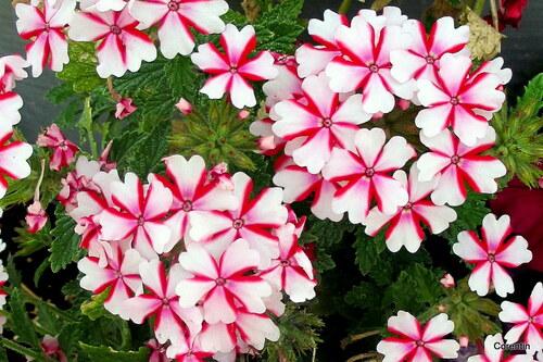 Mes fleurs roses