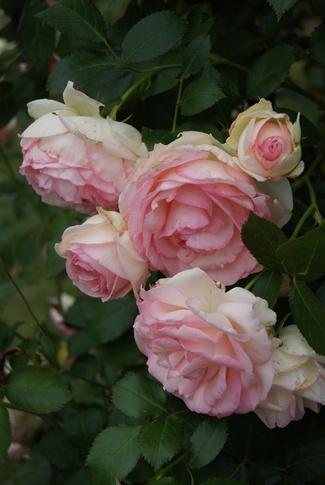 Remontée du rosier Pierre de Ronsard de Meilland