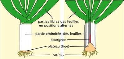 Vertus médicinales des légumes et des fruits : POIREAU