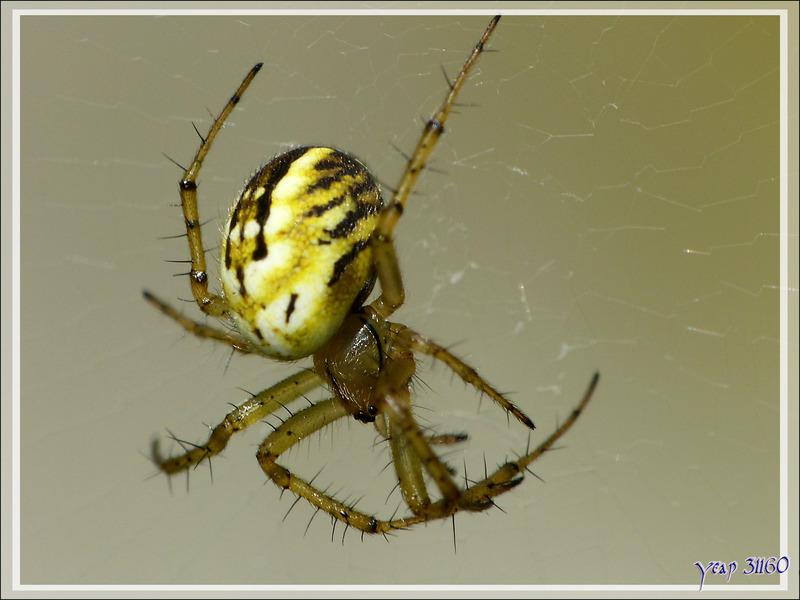 Nouvelle petite araignée jaune et noire vue sous toutes les coutures - Lartigau - Milhas - 31